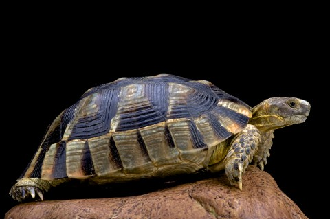 marginated_tortoise
